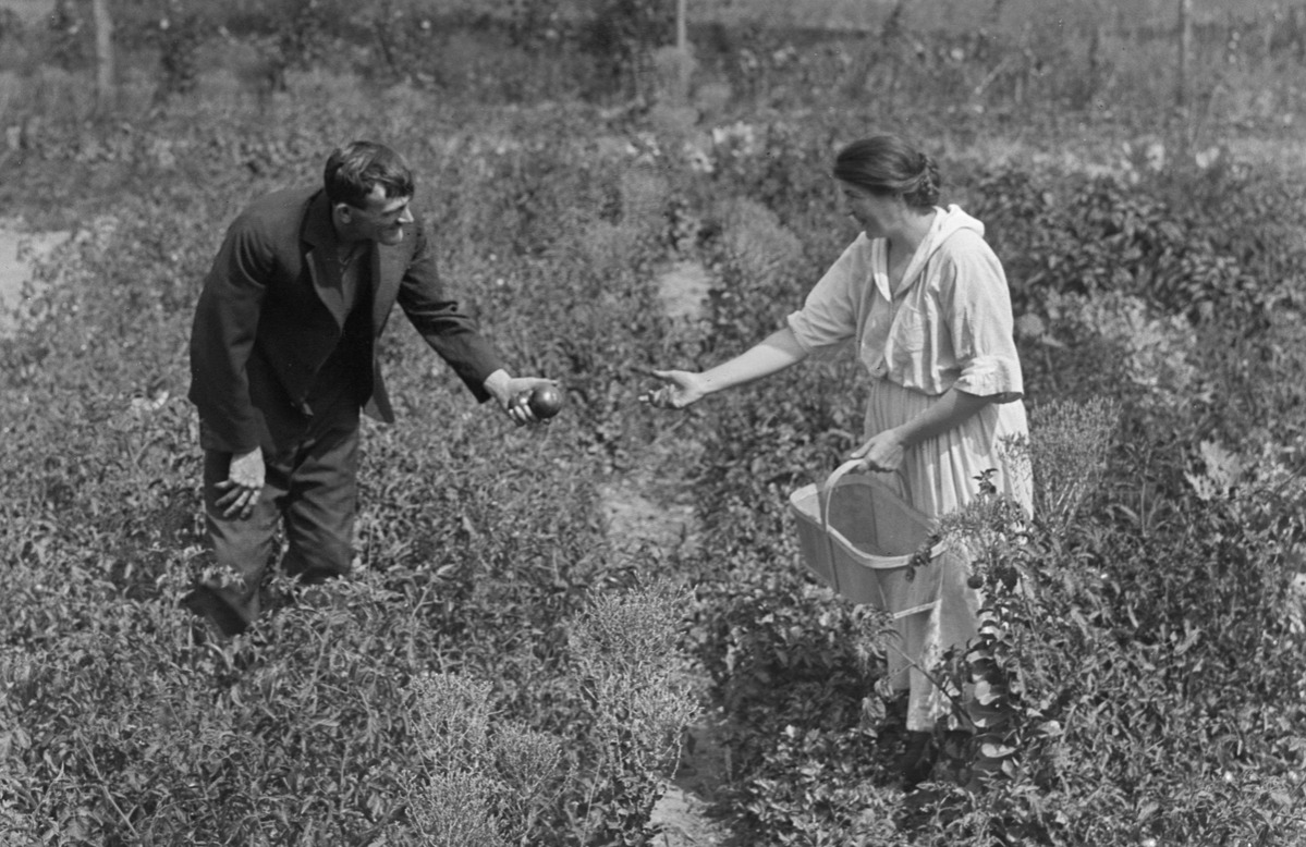 A couple pick tomatoes together, ca. 1910.