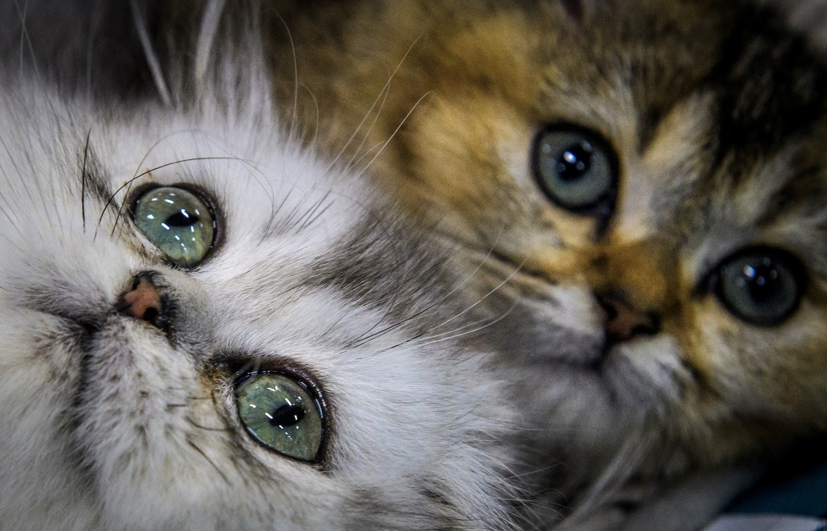 British longhair kittens during the 'Valencia Cup' international cat exhibition in Moscow on November