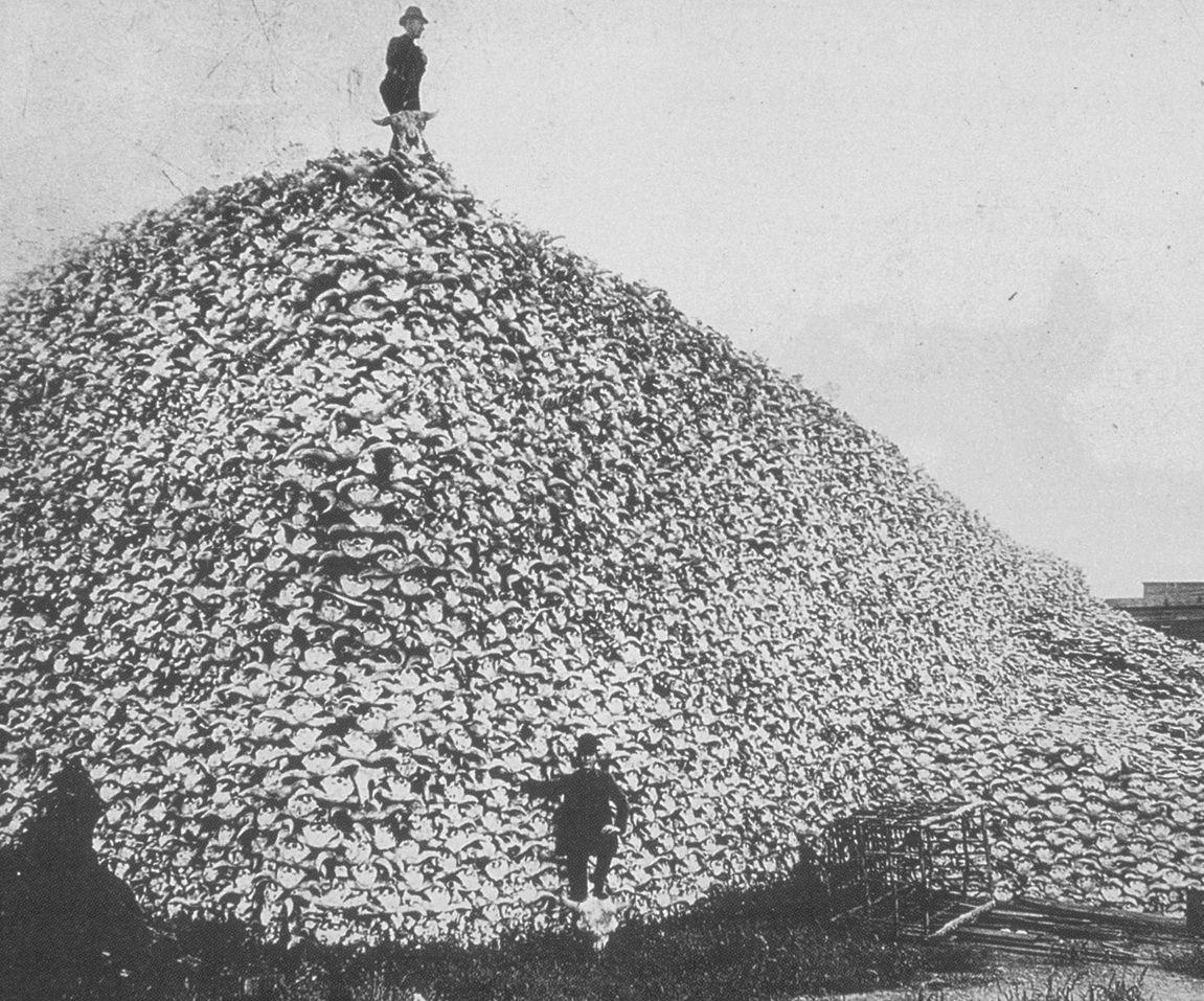 bison-skulls