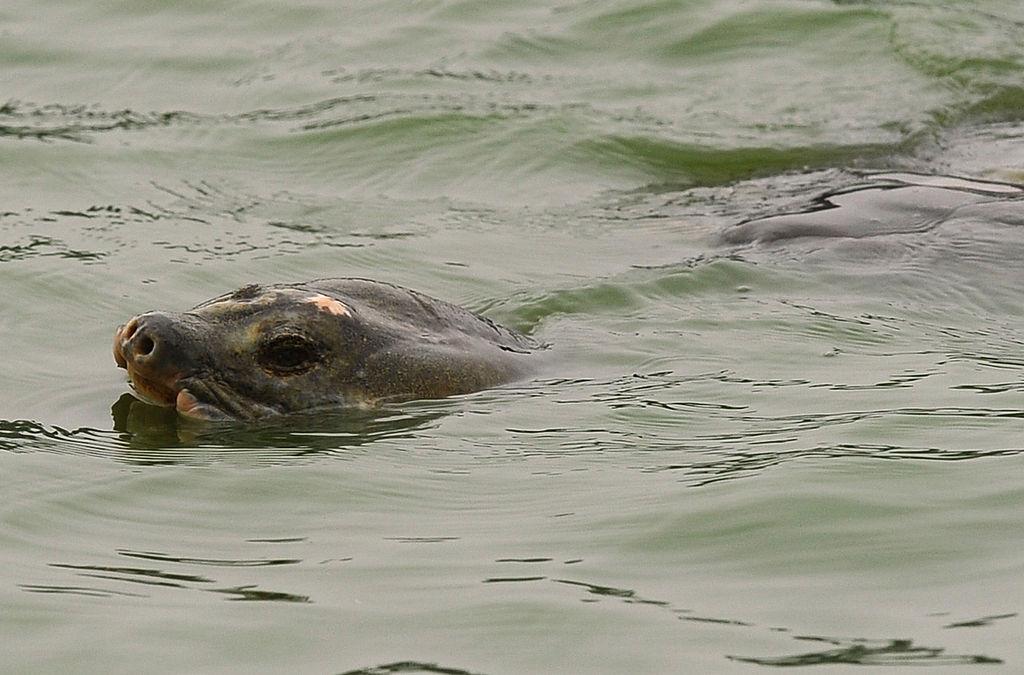 Picture of Hoan Kiem Turtle swimming