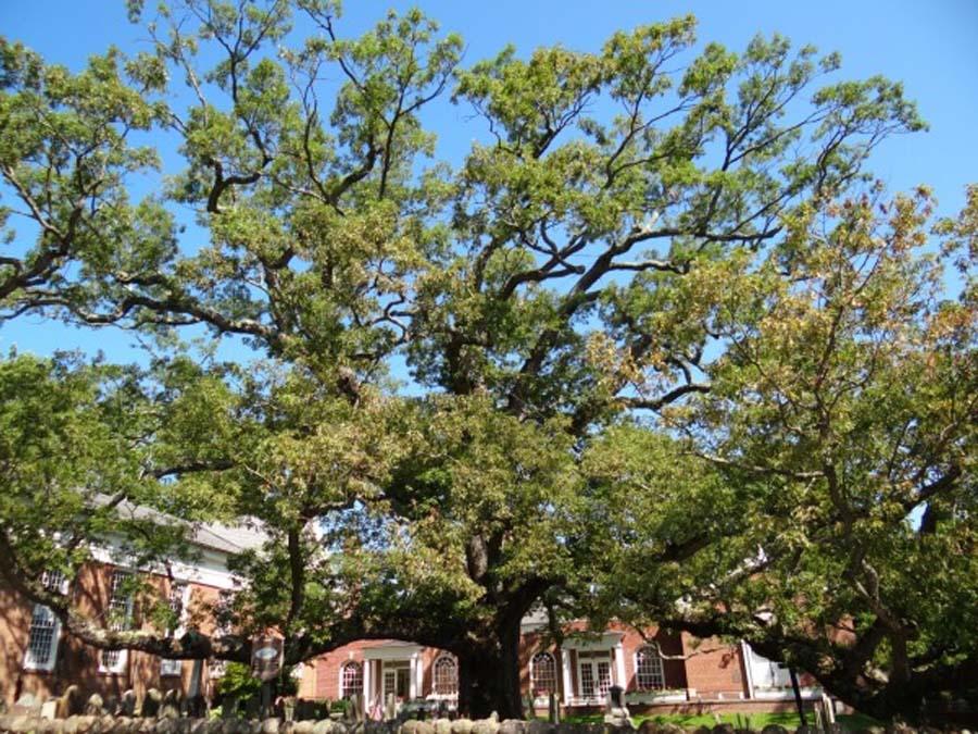 basking-ridge-oak-tree-67730
