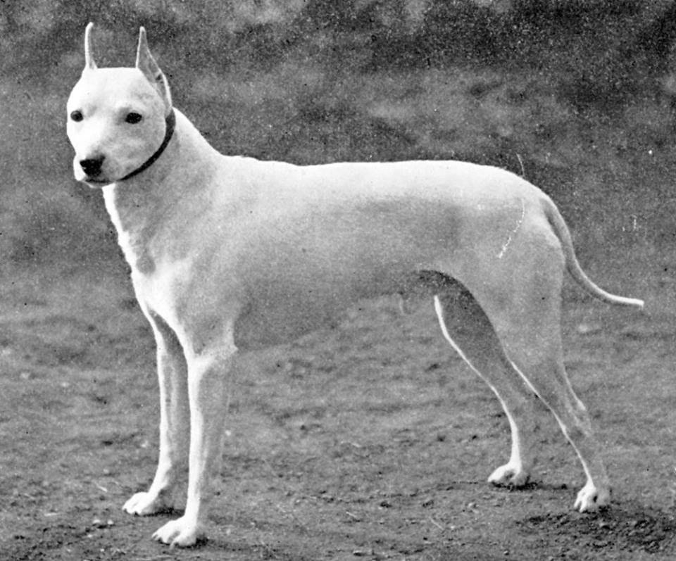 Extinct English White Terrier, 1896