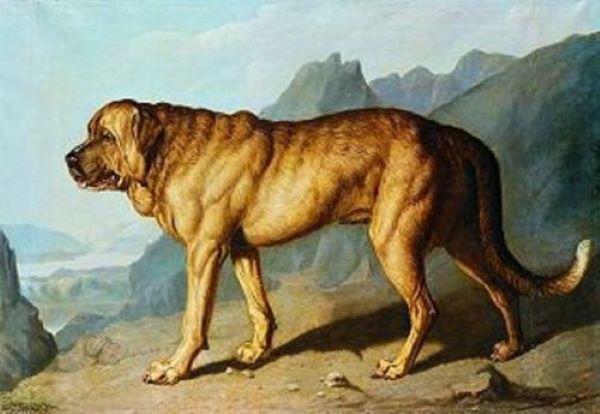 Alpine Mastiff