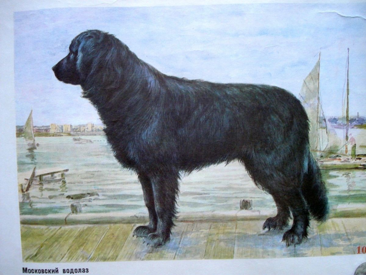 The Moscow Water Dog was bred to save people, but it is now extinct