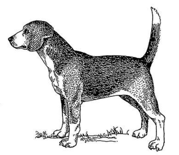 North Country Beagle