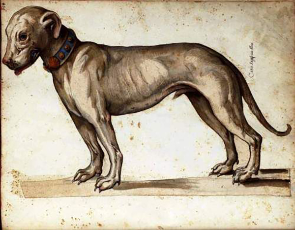 Alaunt dog painting by Ulisse Aldrovandi