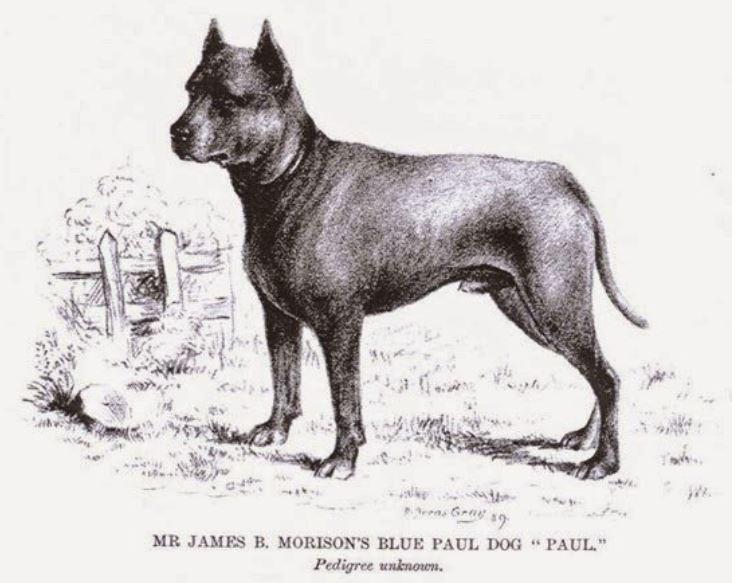 The extinct Blue Paul Terrier, or Blue Poll