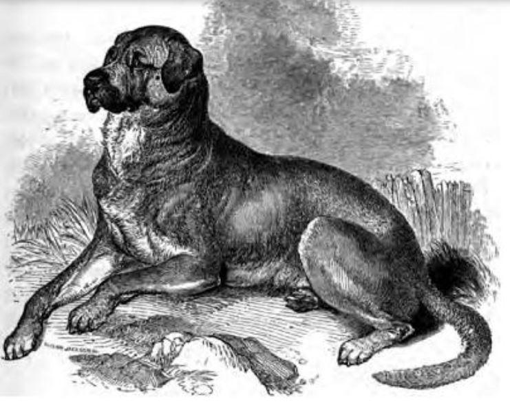 The now-extinct Dogo Cubano