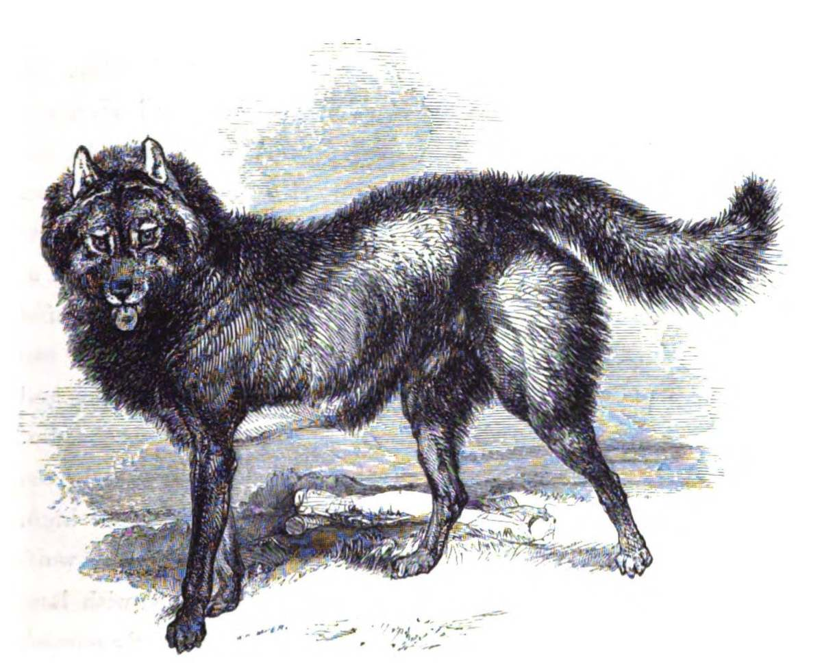 The Fuegian dog was a domesticated culpeo, the second largest canid of South America, not a wolf like our domesticate dog. They were used by the indigenous Yaghan peoples to hunt otters and cuddle them for warmth.