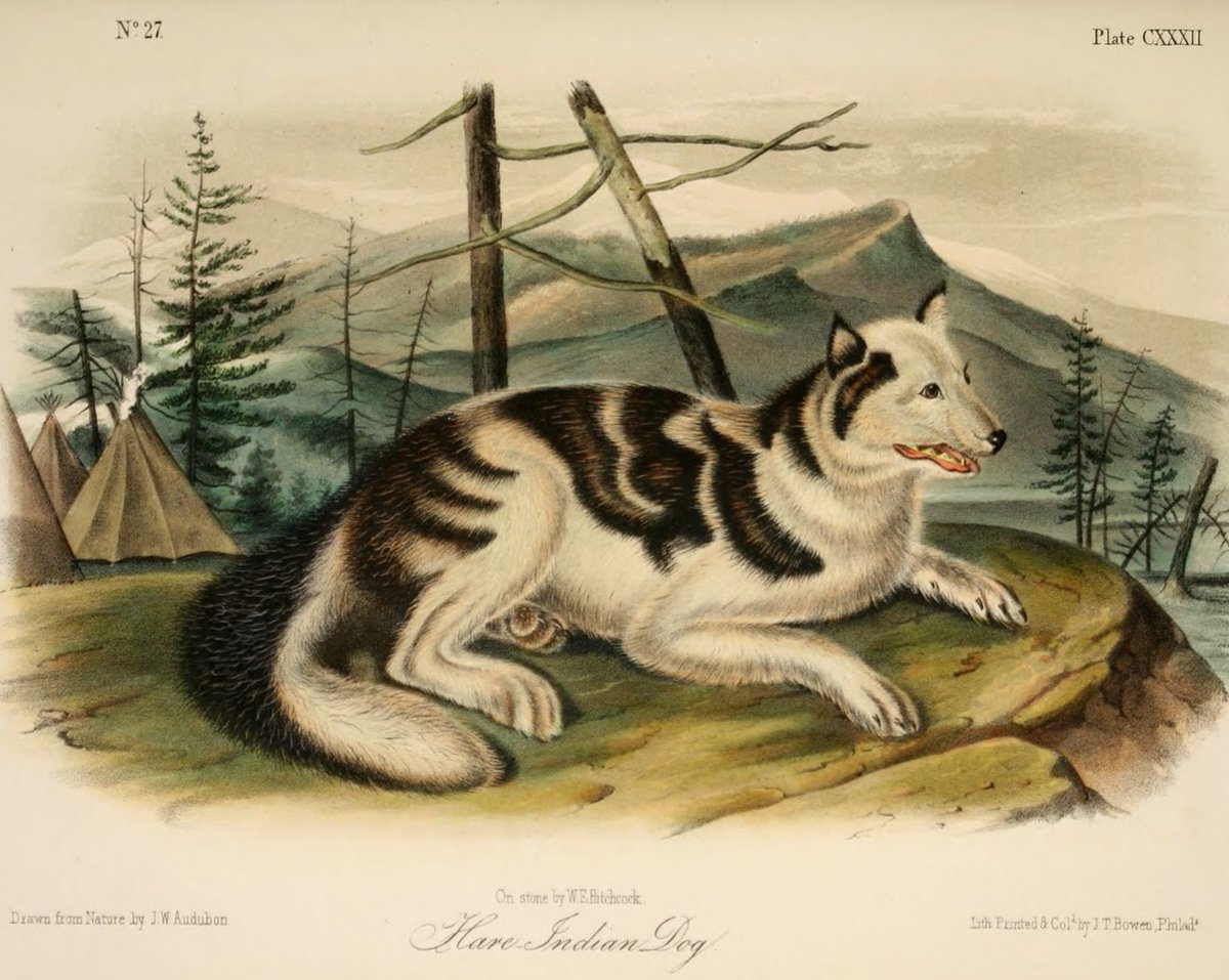 Depiction of a Hare Indian dog