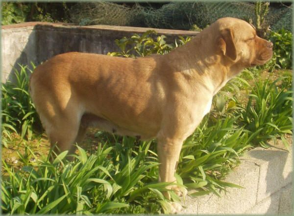 Puppy Terceira Mastiff