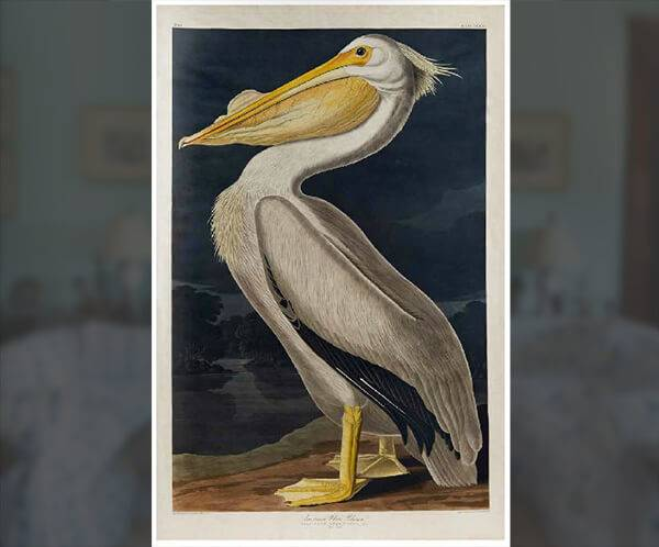 white pelican painting by james audubon