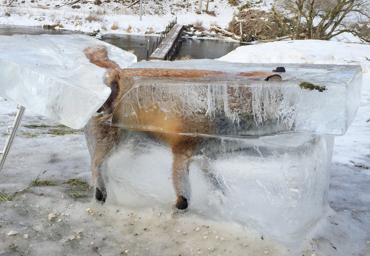 A block of ice with a frozen fox can be seen in Fridingen, Germany.