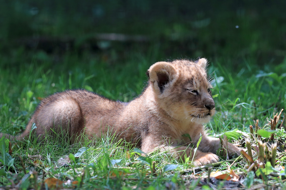 A three six-week-old lion cub sits in the grass, enjoying the warm weather.