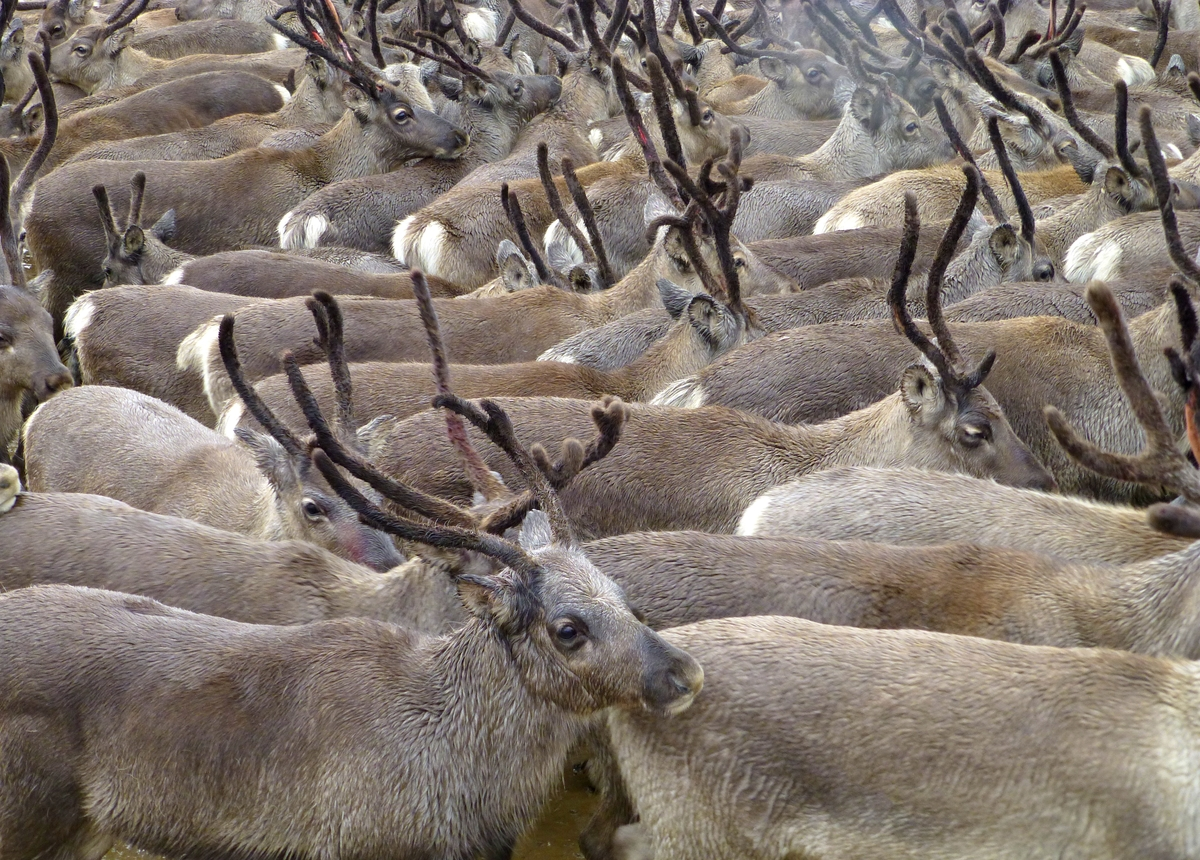 Reindeer, also known as the caribou in North America, travel in a large herd.