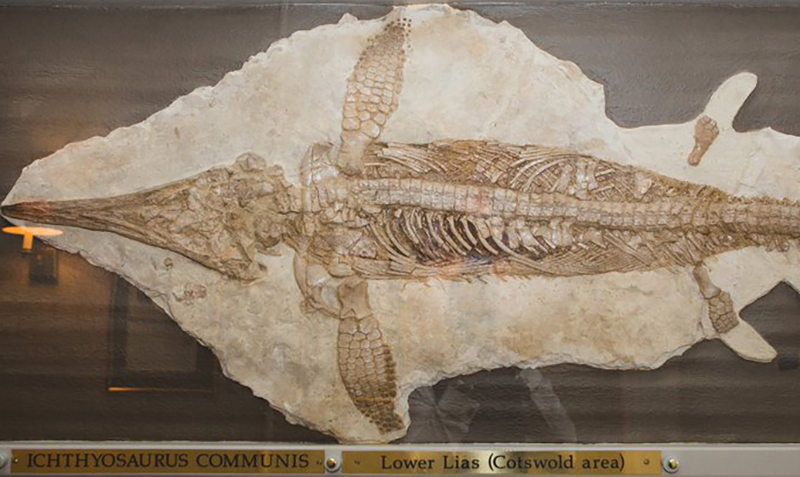 An ichthyosaur skeleton is on display at a museum.