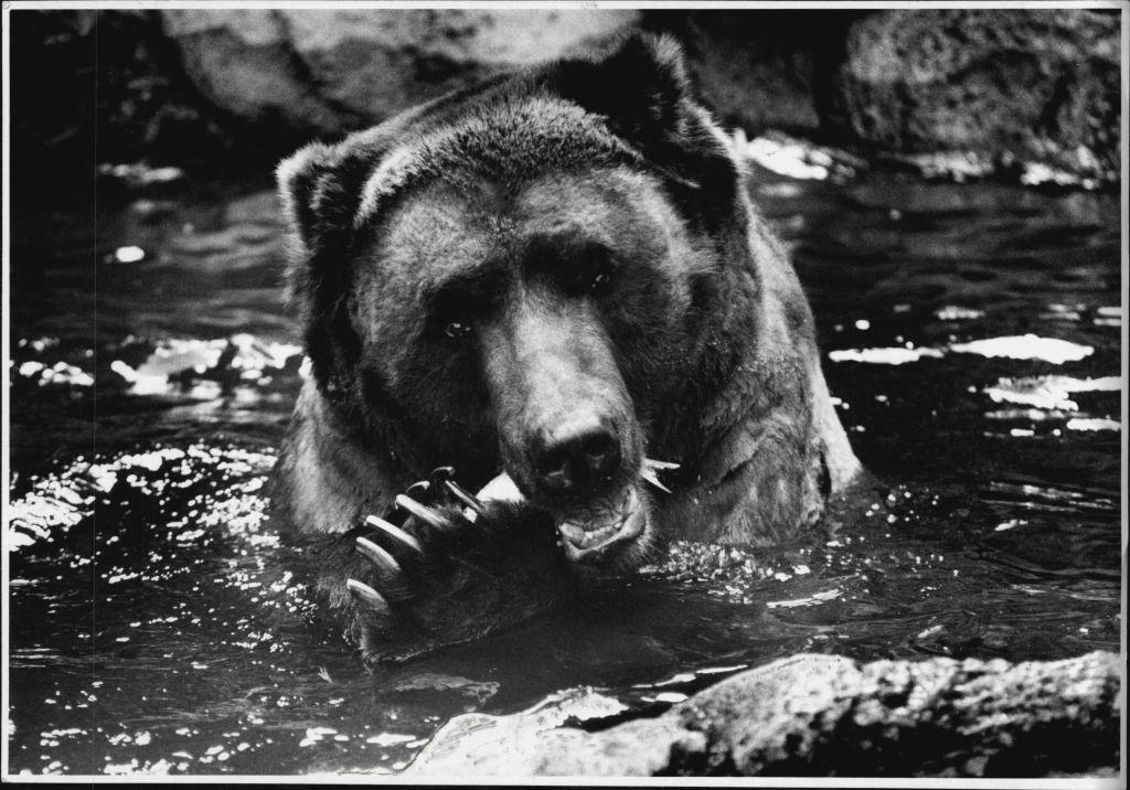 black bear at a zoo