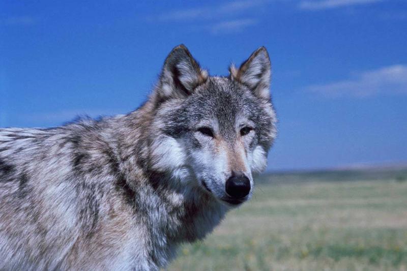 Wolf on set