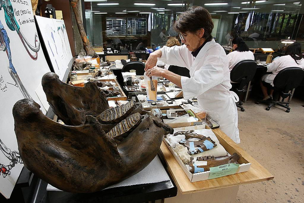 Shelley Cox categorizes parts of an adult bison, dated 42,000 years ago, while working inside the fossil lab