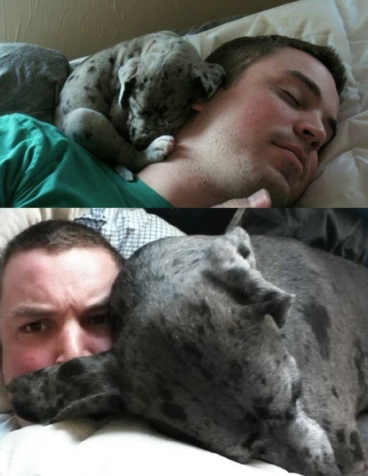 puppy sleeping by owner's head and trying to do the same as a fully grown dog