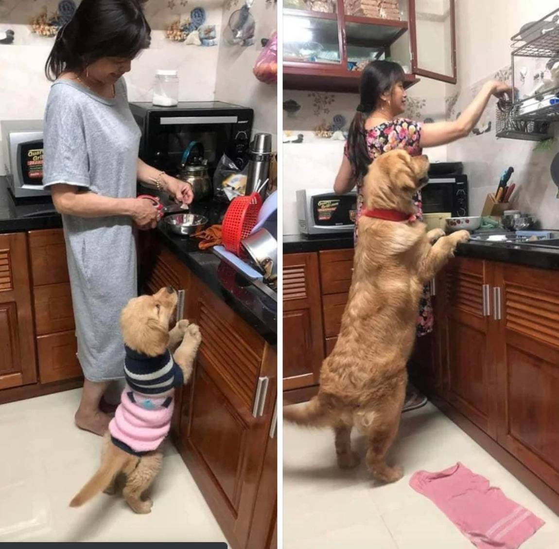 photo of dog trying to look at food on kitchen counter as puppy and adult