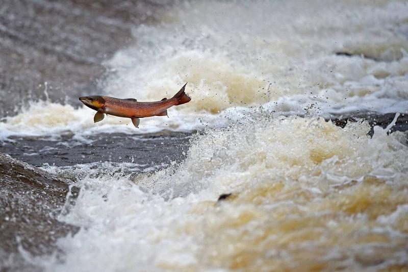 Salmon going upriver