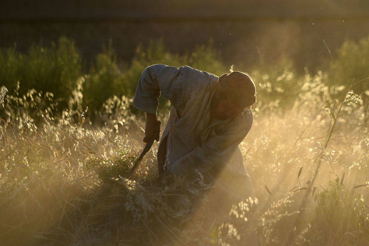 A farmer harvests wheat in Afghanistan.