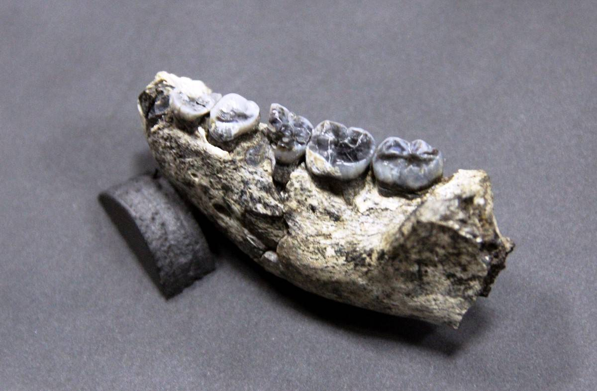 A fossilized human jawbone from Ethiopia is on display.