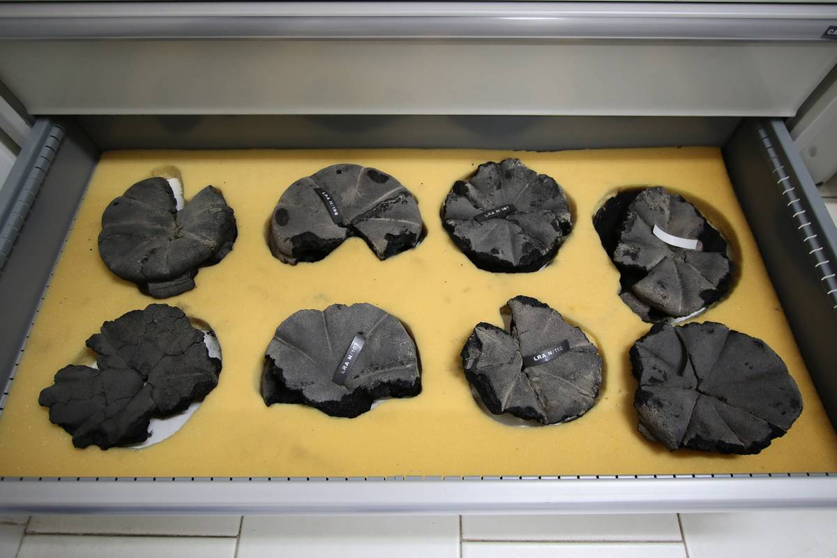 Carbonized bread from Pompeii is on display in a museum.