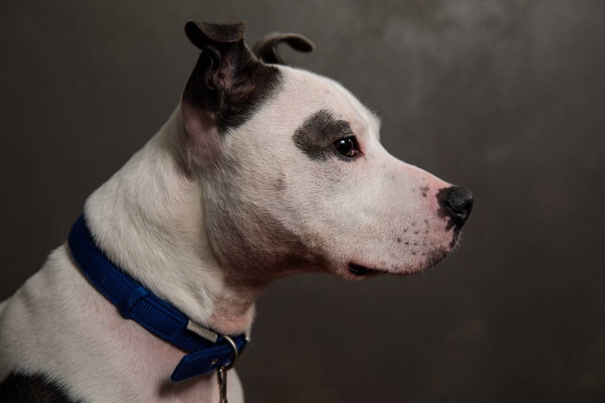 Lucas, a six year-old, Staffordshire Bull Terrier