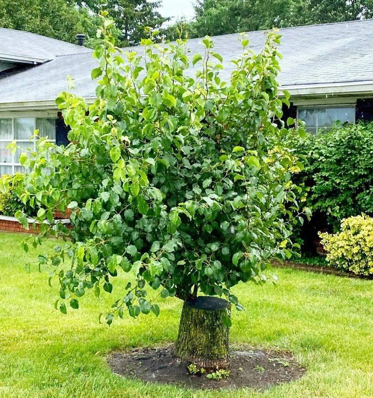 stump tree