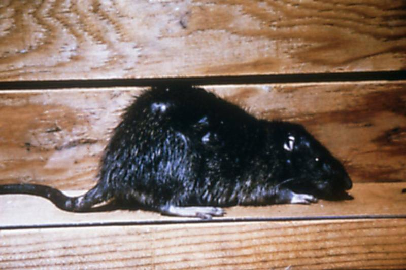 Picture of a rat