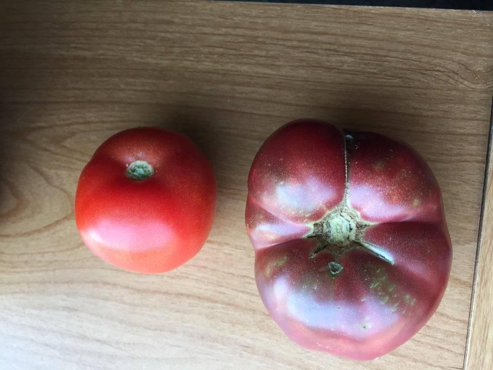 tomatoes grown 150 years apart