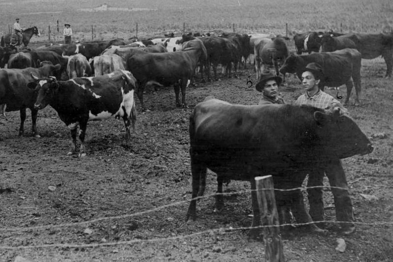 Cattlemen handle cattle in a barbed wire fence in the 1890s.