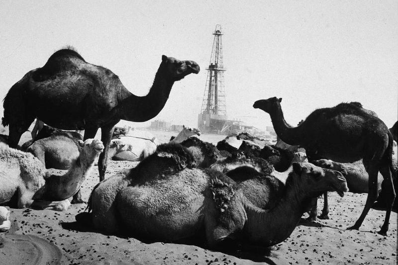 Camels rest near an oil well in the mid-20th century.