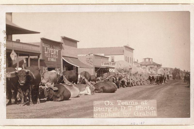 cattle and ox in sturgis south dakota in the 1800s