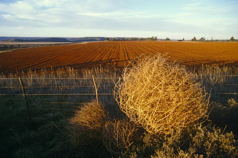A giant tumbleweed sits near maize fields.