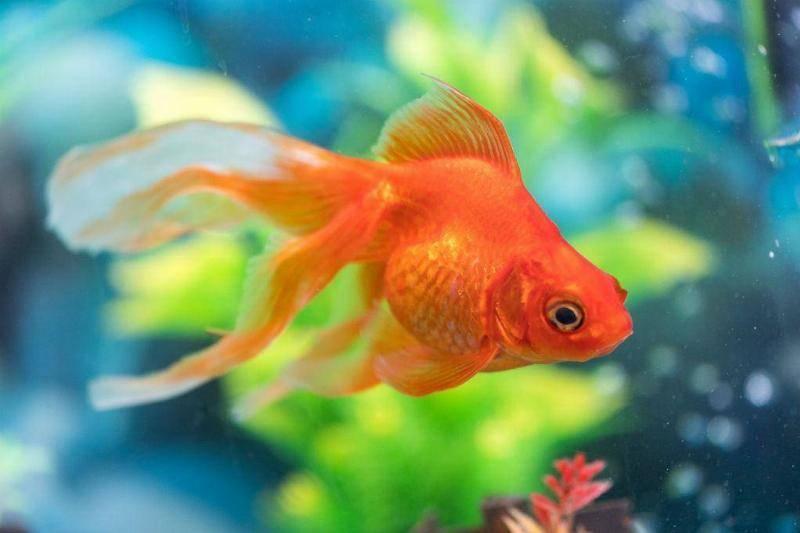 goldfish-83665