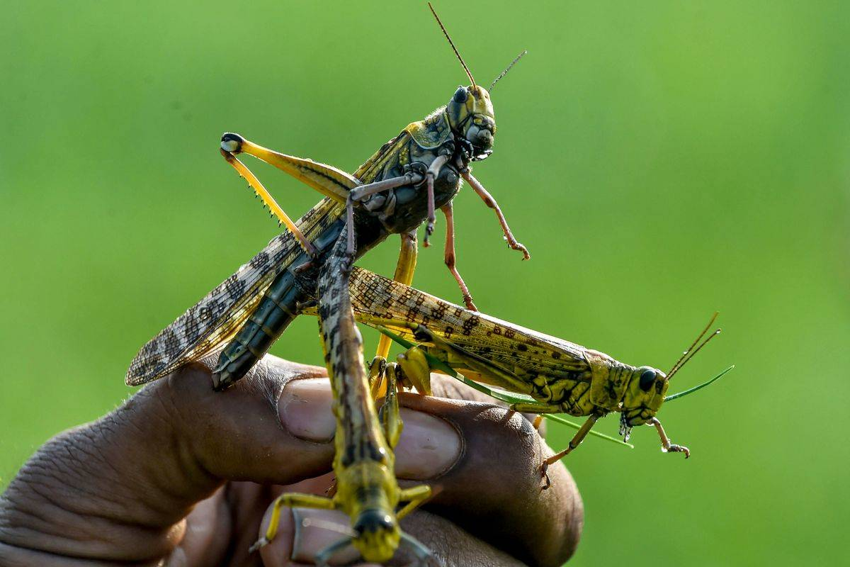 Several locusts crawl on a man's hand.