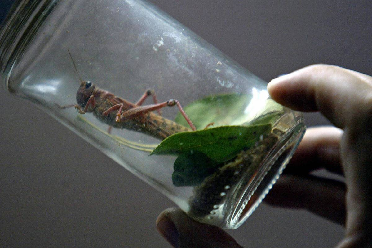 A man holds a glass jar with a locust inside of it.