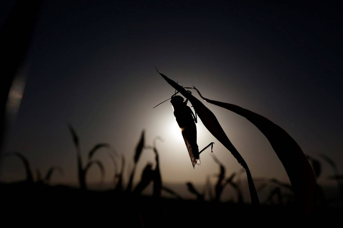 The shadow of a locust is seen eating against the setting sun.