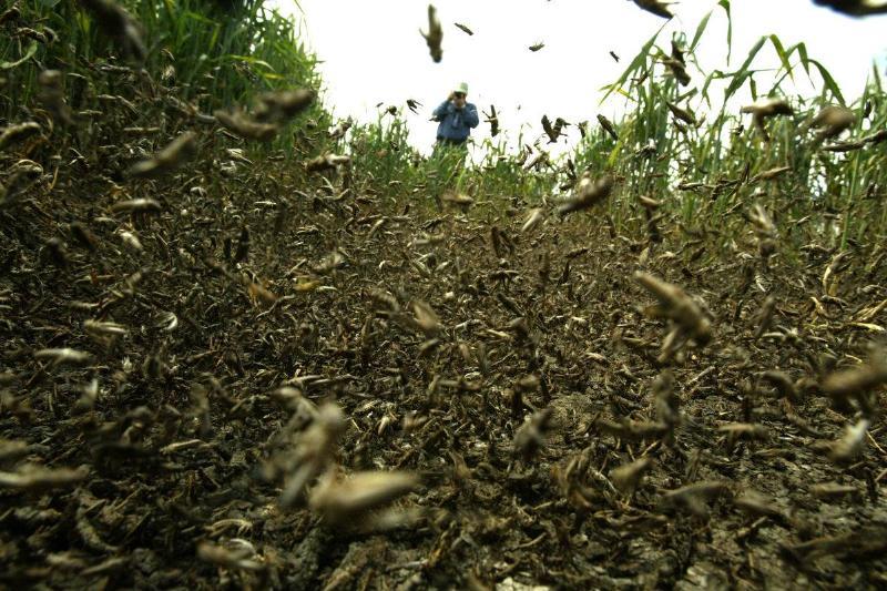 Locusts swarm a field that a farmer stands in.