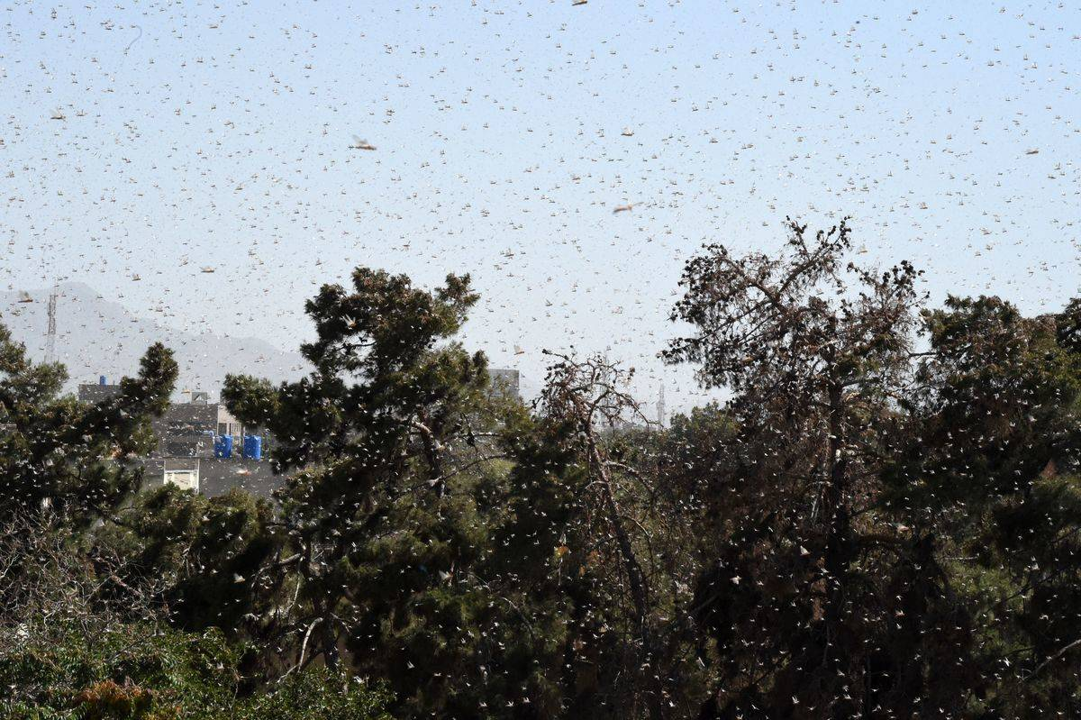 Swarms of locusts fly over trees.