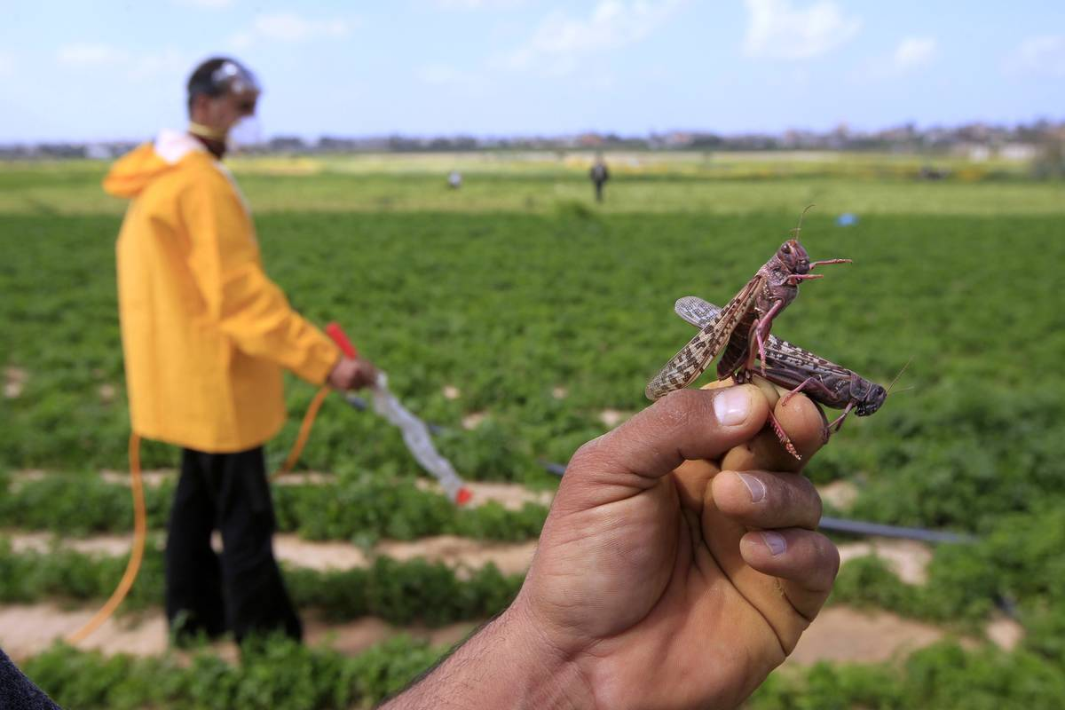 A Palestinian farm shows a locust on his hand as other farmers aim to get rid of them.