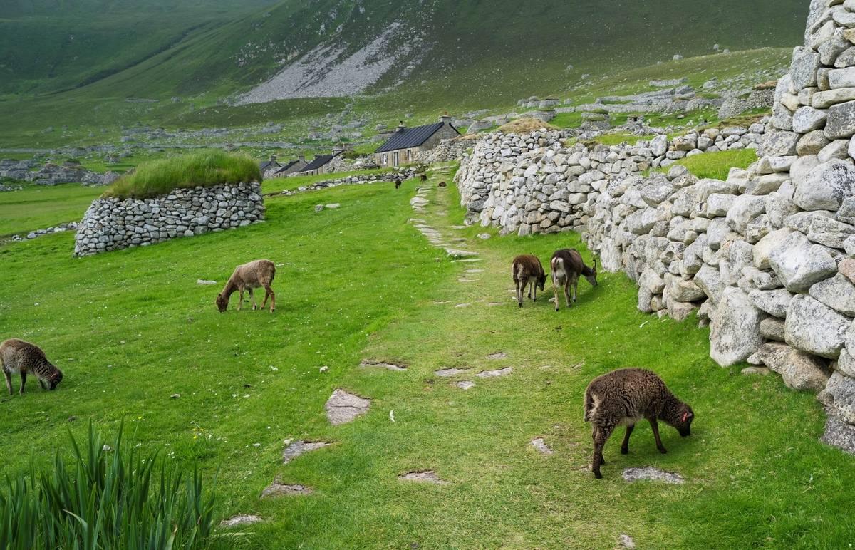 Native sheep graze along the abandoned St. Kilda.