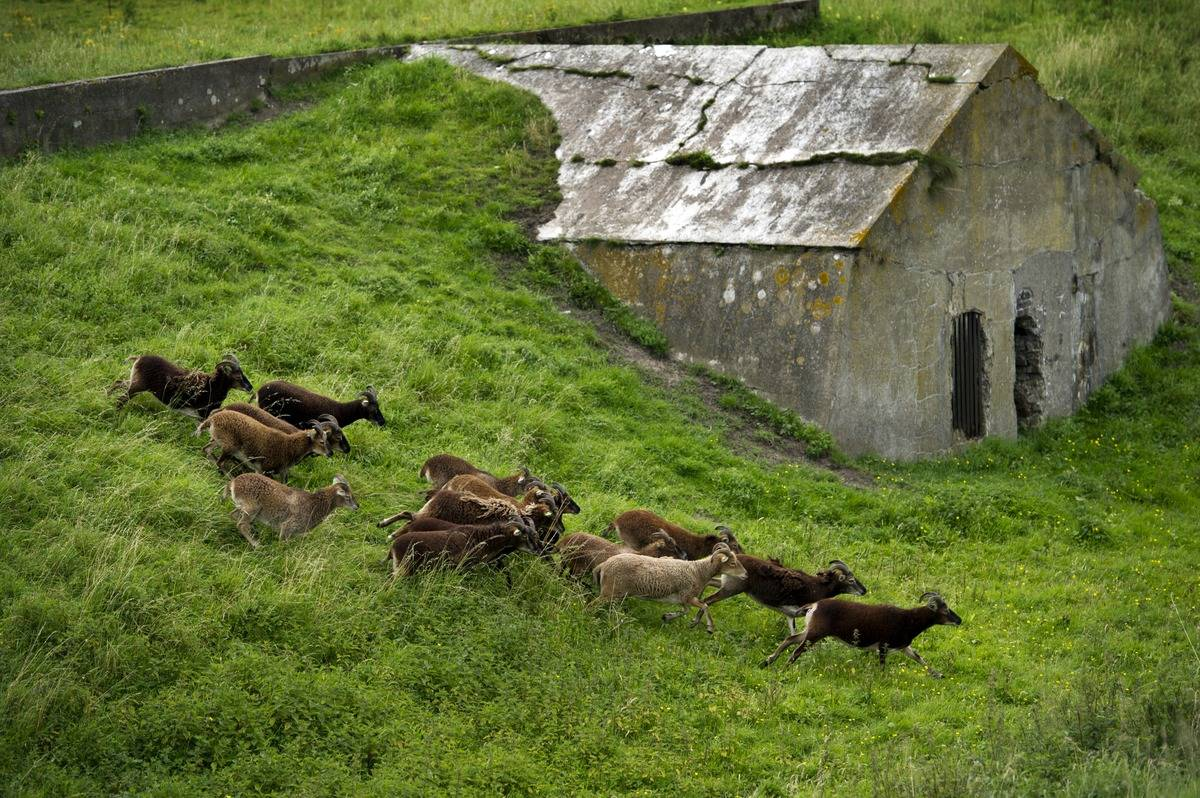 A group of soay sheep run by an abandoned building on st. kilda.